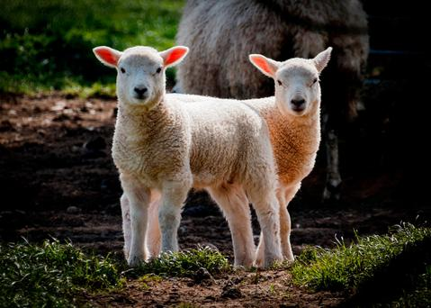 The reduced age at slaughter, of 16 days, due to leaving male lambs entire is similar to the response obtained from supplementing with 17kg creep concentrate