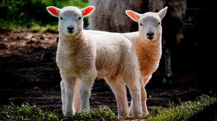 Why castrating lambs may not be helping your profits