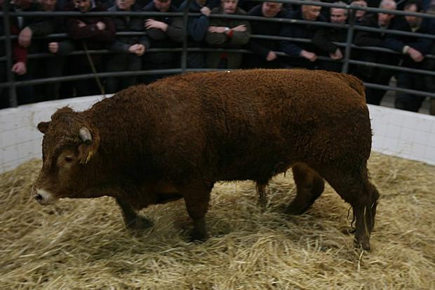 Weight 550K, Breed LM, DOB 10/4/15, Price €1010 Photo Brian Farrell