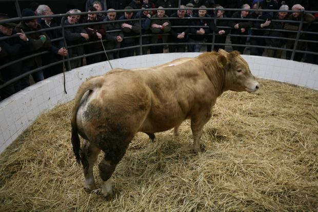 Weight 610KG, Breed CH, DOB 2/2/16, Price €1400, Photo Brian Farrell