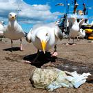 Seagulls fight over scraps in Howth, Dublin Photo: PA