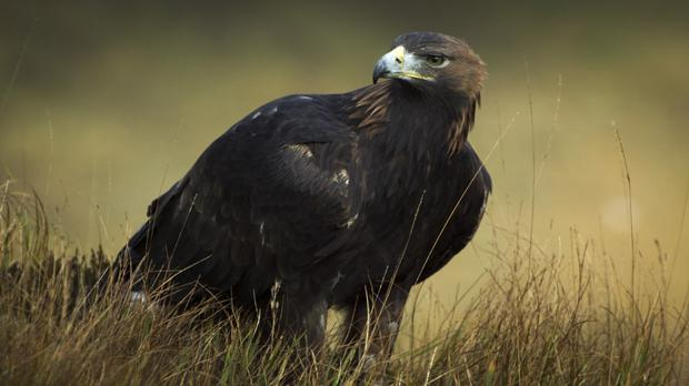 The Golden Eagle. Credit: Eire Fhiain / TG4