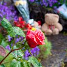 A red rose comes into bloom on the site of the Mother and Babies home grave in Tuam, Co Galway. Photo Andy Newman