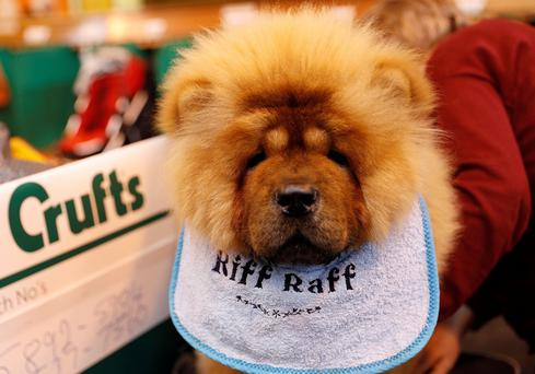 A Chow Chow is groomed during the second day of the Crufts Dog Show in Birmingham, Britain March 10, 2017. Photo: REUTERS/Darren Staples