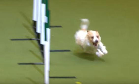 Jack Russell loses the run of himself while competing in Crufts 2017