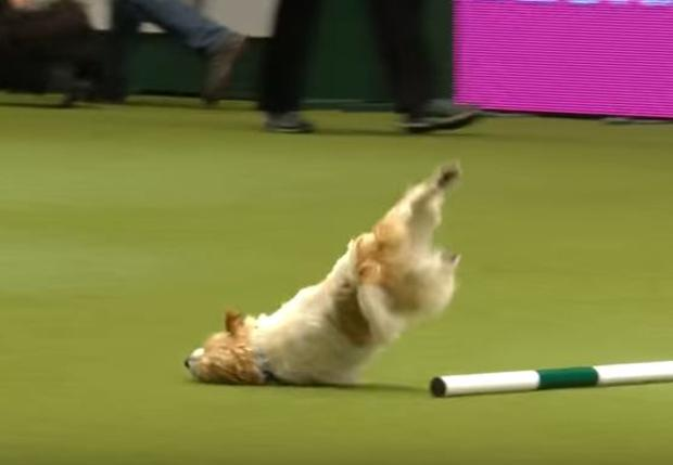Olly faceplanted during his performance at Crufts 2017