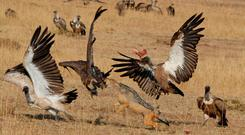 Mammals such as jackals can easily injure vultures, so the birds tend to concede any carcasses to their larger competitors