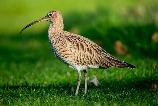 The population of the curlew has declined by 97pc here since the 1980s