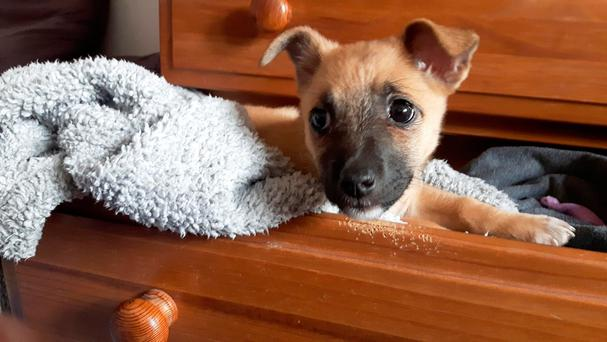 Maisy, a 10-week-old pup, is looking for a new home. Photo: Ciara Wilkinson