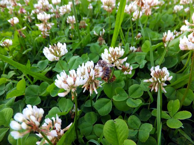 overgrown meadow young white clover (Trifolium repens) as a background