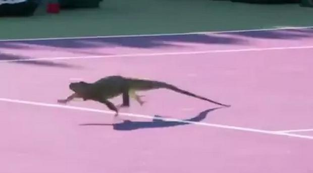 The iguana scampers across the court. CREDIT: ATP TOUR MIAMI