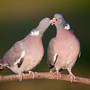 Speak softly: A pair of wood pigeons
