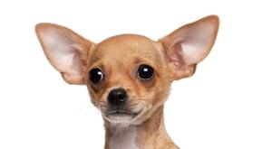 The Chihuahua, like this one, was only two months old. Stock Photo