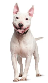Staffordshire Bull Terrier. Stock Photo