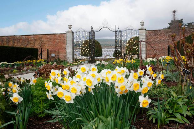 Daffodils in bloom in the walled garden, in front of one of the newly refurbished gates. Photo: Fran Veale