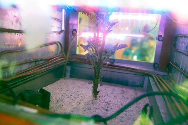 A potato plant grows inside a Mars simulator in Lima, Peru. The simulator mimicks the harsh conditions found on Mars. (AP Photo/Martin Mejia)