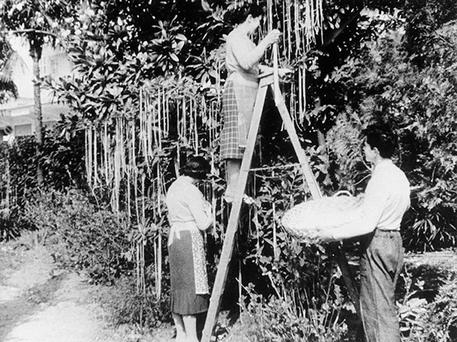 Spoof: BBC's 1957 documentary showing spaghetti being harvested from trees