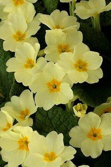 Love potion: Pleasant primroses also uplift the spirit