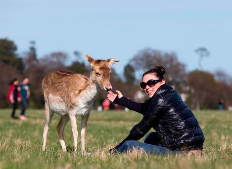 Natalija Saveljeva feeding the deer in Phoenix Park in Dublin. Photo: Arthur Carron