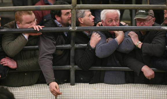 Catlerea Mart. Faces at the ring. Photo Brian Farrell
