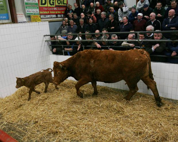 Catlerea Mart Weight 800k DOB 14/2/14 . 17/3/17. Bull calf. Breed LMX. Price €1590. Photo Brian Farrell.