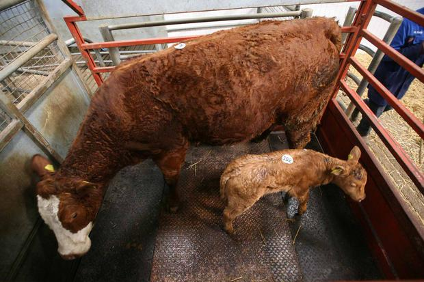 Catlerea Mart. Weight 855K. DOB 19/2/11 17/3/17. Bull calf. Breed LM. Price .Photo Brian Farrell
