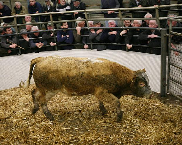Catlerea Mart. Weight 425K. DOB 5/4/16. Sex M. Breed CHX. Price €1045. Photo Brian Farrell.