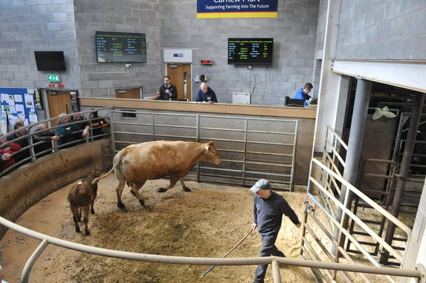 Carnew Mart, April 8. Lot 812 cow and calf. DOB 15/08/11 & 15/02/17. Price €1,570.