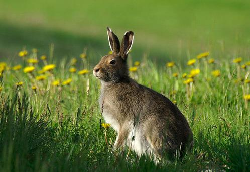 THE STAG OF THE CABBAGES: Lepus timidus, the Irish hare
