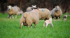 Lambing should be finished by May. Stock photo