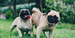 A festival dedicated to pugs will be held in Manchester