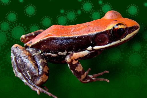 Scientists believe this orange frog from India could hold the key to a cure for flu (Stock picture)