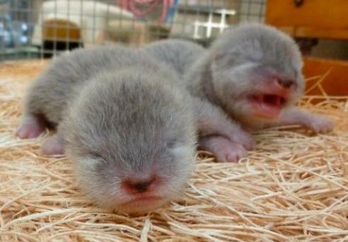 The baby otters were born at Dingle Oceanworld at the beginning of April