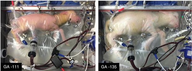 The foetal lamb at the beginning of the 'artificial womb' process (left), the foetal lamb after spending a month in the device (right). Credit: Nature Communications