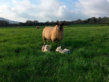 The move to a grass diet for lambs presents several challenges