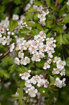 SNOWY: The hawthorn, or May bush, marks the cusp between spring and summer