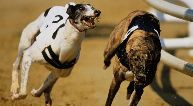 The Irish dogs weren't the best away as the two outsiders Knockard Spring and Azzurri Genesis led up. (stock photo)