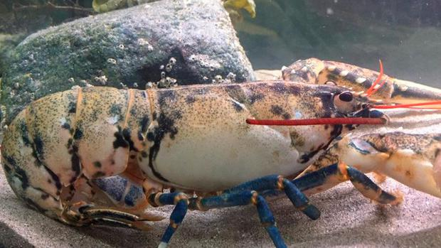 The white lobster is incredibly rare and live for up to fifty years