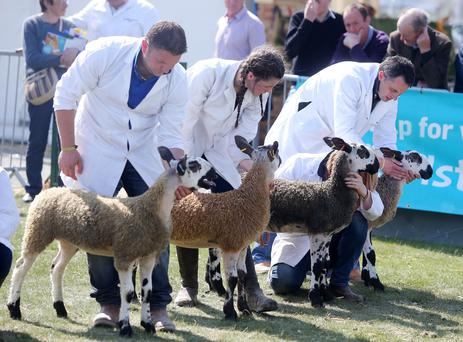 Sheep judging takes place in the parading ring. Picture by Jonathan Porter/PressEye.com