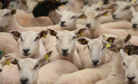 Freshly sheared sheep. Photo: Niall Carson/PA Wire