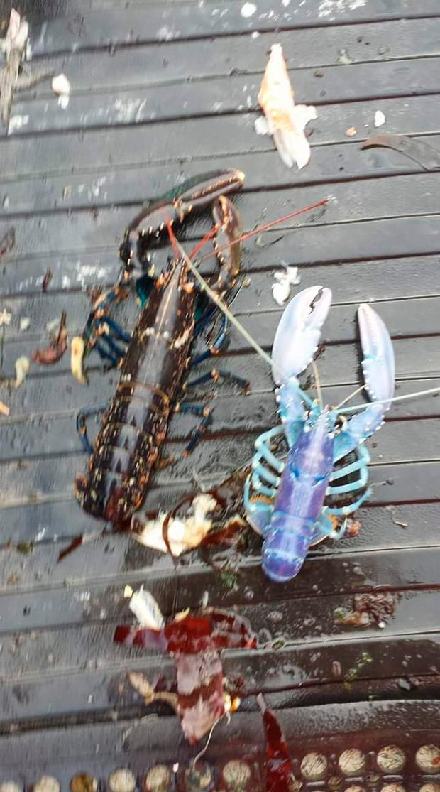 This rare blue lobster was landed off the Quilty coast in west Clare