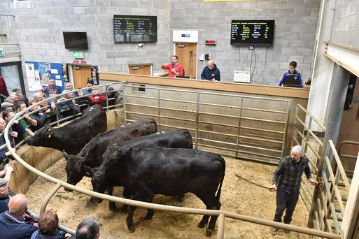 Lot 41 . weight 602 Kg, DOB 11/03/15. PRICE €1280. Breed LMX. Photo Roger Jones.