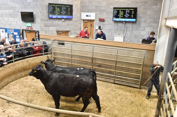 Lot 41 . weight 491 Kg, DOB 13/03/15. PRICE €1170. Breed LMX. Photo Roger Jones.