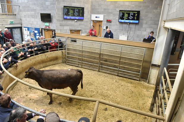 Lot 51 . weight 419 Kg, DOB 11303/15. PRICE €1170. Breed LMX. Photo Roger Jones.