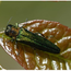 Emerald ash borer. Photo: Royal Botanical Gardens
