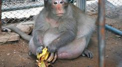 A wild obese macaque named