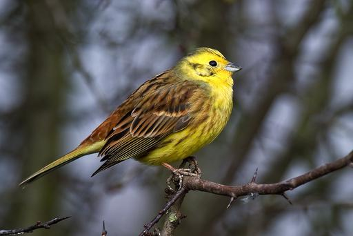 YELLOWHAMMER: Or to try it in Latin, Emberiza citrinella