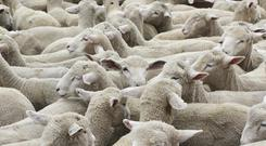 Wool price is at 60 cent a kilo. Stock photo