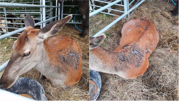 One of his animals, a three year old red doe deer called Yanna, was found with patches of its fur ripped off or indeed burned off.