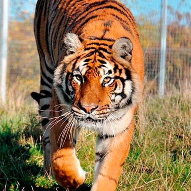 A tiger at Hamerton Park Zoo in Cambridgeshire, England, as shown on the zoo's website